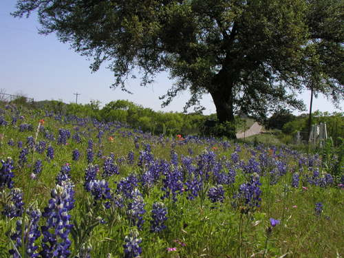 what is the Texas state flower?